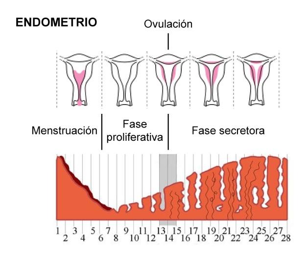 menstruacion02